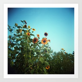 Summer Sunflowers in Bloom Against a Blue Sky  - Film Photograph Art Print