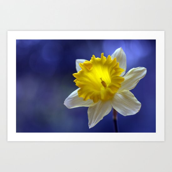 Daffodil in blue 9854 Art Print