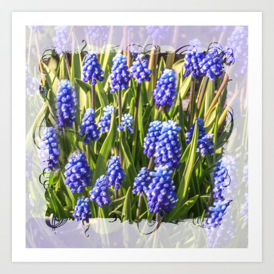 Grape hyacinths muscari Art Print