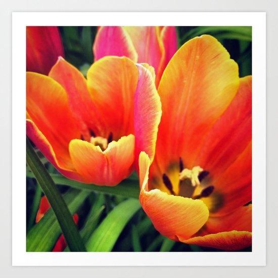 Coral Tulips in Bloom Art Print