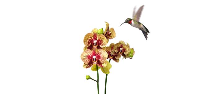 Hummingbird & Phalaenopsis Coffee Mug