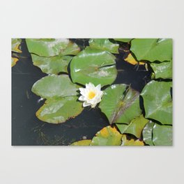 White Water-Lily Canvas Print