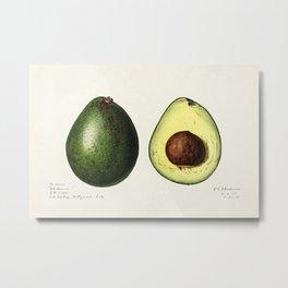 Avocado (Persea) (1916) by Amada Almira Newton. 3 Metal Print
