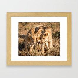 Bonding Lions Framed Art Print
