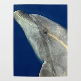 Bottlenose dolphin portrait Poster