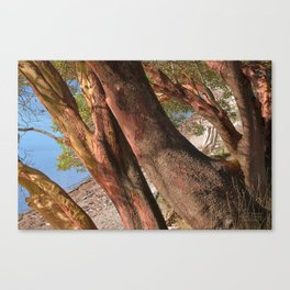 MADRONA TREES REACHING OVER THE BEACH Canvas Print