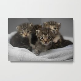 Photo of a group of cuddly kittens Metal Print