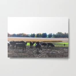 Cattle in Fall Metal Print