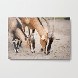 domesticated goats eating from sand Metal Print