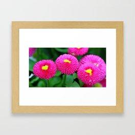 Pink bellis Framed Art Print