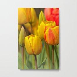 colourful tulips III Metal Print