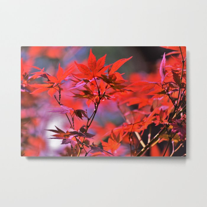 Red Japanese Maple Leaves Metal Print
