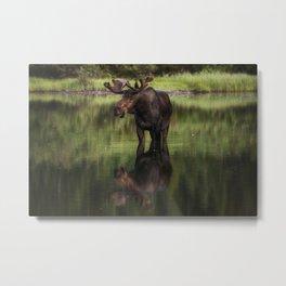 Reflecting Bull Metal Print