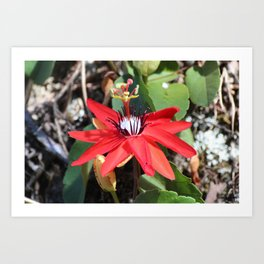 Passionflowers Bloom in the Sun Art Print