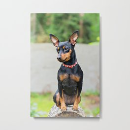 Outdoor portrait of a miniature pinscher dog Metal Print