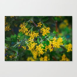 Yellow Blossoms 5 Canvas Print
