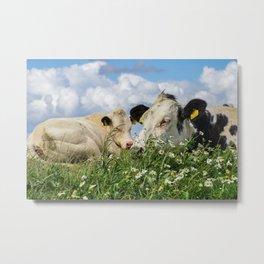 Two lazy cows @ Zwarte Haan (The Netherlands, Friesland) Waddenzee Metal Print