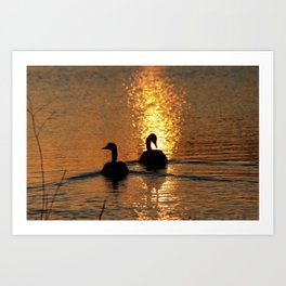 Canadian Geese swimming on a Pond in Kansas. Art Print