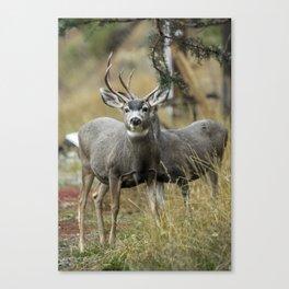 two bucks Canvas Print