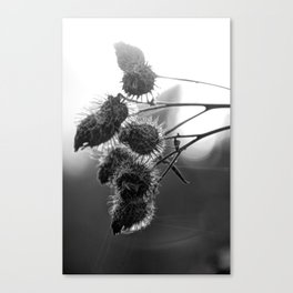 Dried burdock Canvas Print