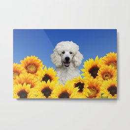 White Poodle in Sunflower field Metal Print