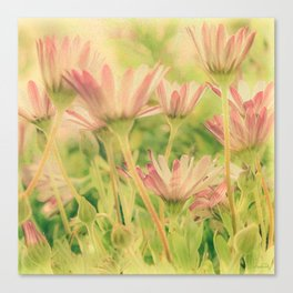 Vintage Spring Coral Pink Daisy Flowers Canvas Print
