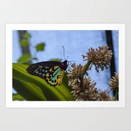 The Birdwing Butterfly Art Print