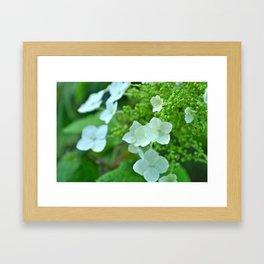 White Hydrangia Framed Art Print