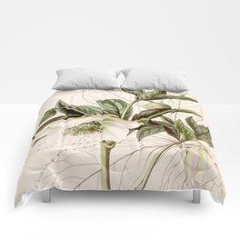 Helleborus orientalis Comforters