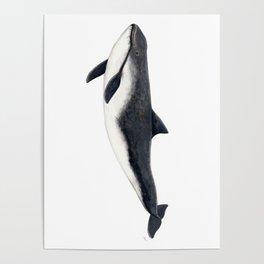 Harbour porpoise (Phocoena phocoena) Poster