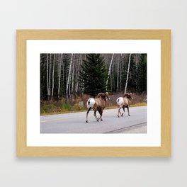 Pair of Bighorn Sheep, Banff Alberta Framed Art Print