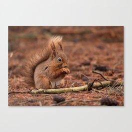 Nature woodland animals Red squirrel by a log Canvas Print