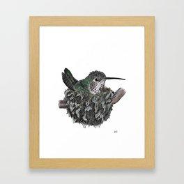 Rufous Hummingbird - Selasphorus rufus Framed Art Print