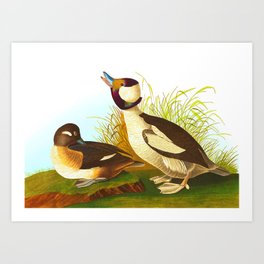Bufflehead Duck Vintage Illustration Art Print