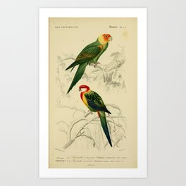 D'Orbigny - Universal Dictionary of Natural History; Birds (1849): 5A Rosella Parrots Art Print