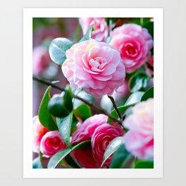Pink Camelias Art Print