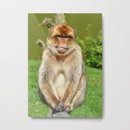 Grumpy Barbary ape Metal Print