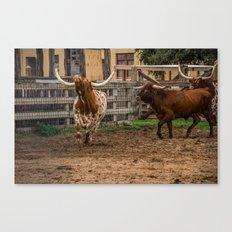 Frolicking Longhorns Canvas Print