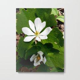 Bloodroot Blossoms 2 Metal Print