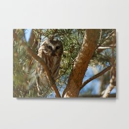 Perched Northern Saw-Whet Owl Metal Print