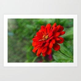 Red Zinnia Flower Art Print