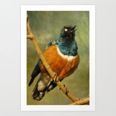 Superb Starling Art Print