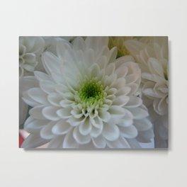 Macro Chrysanthemum Metal Print