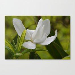 White Magnolia Blossom in the Spring Canvas Print