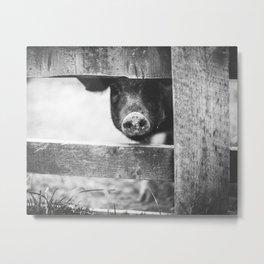 Nosy Pig Snout Metal Print