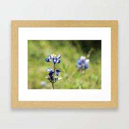 Last of the Bluebonnets Framed Art Print