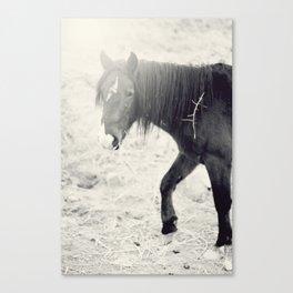 Wild Mustang Canvas Print