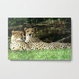 Two Cheetahs Lounging in Grass in Front of Log, Grunge Photograph Metal Print