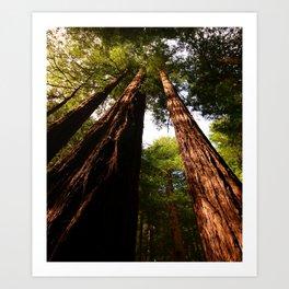 Redwood Tree Tops Art Print