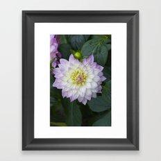 Purple-streaked dahlia Framed Art Print
